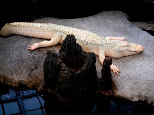 Nothing says Christmas Like an Albino Alligator